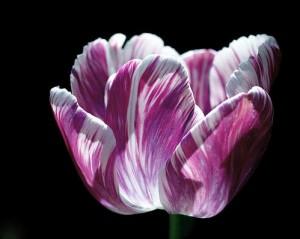purple-and-white-marbled-tulip-rona-black